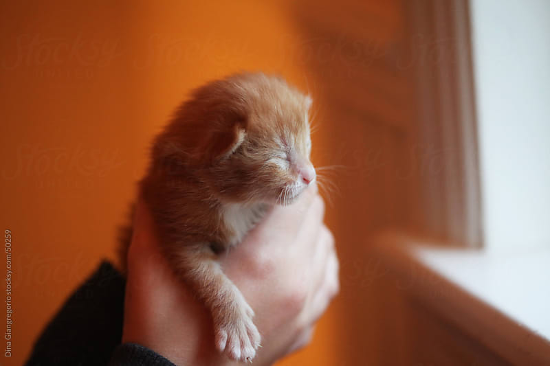 Newborn orange and white kitten being held against orange background by Dina Giangregorio for Stocksy United
