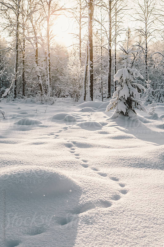 Animal Tracks Leading into Trees in Snowy Landscape by Stephen Morris for Stocksy United