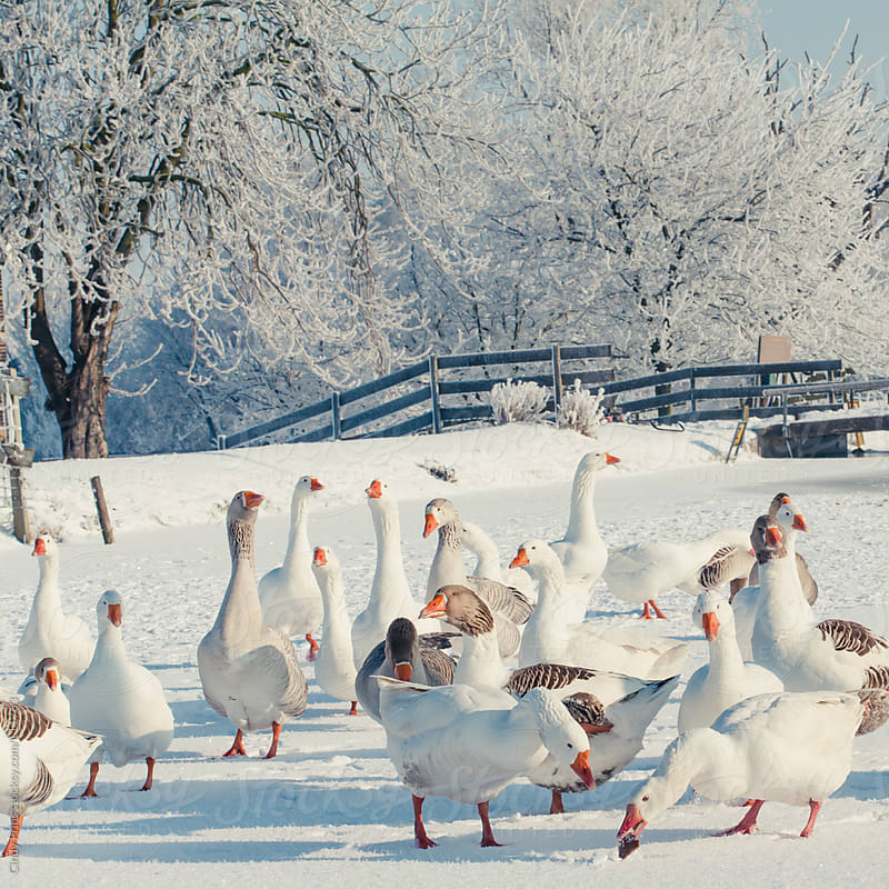 Geese standing on a frozen pond in the snow in winter by Cindy Prins for Stocksy United