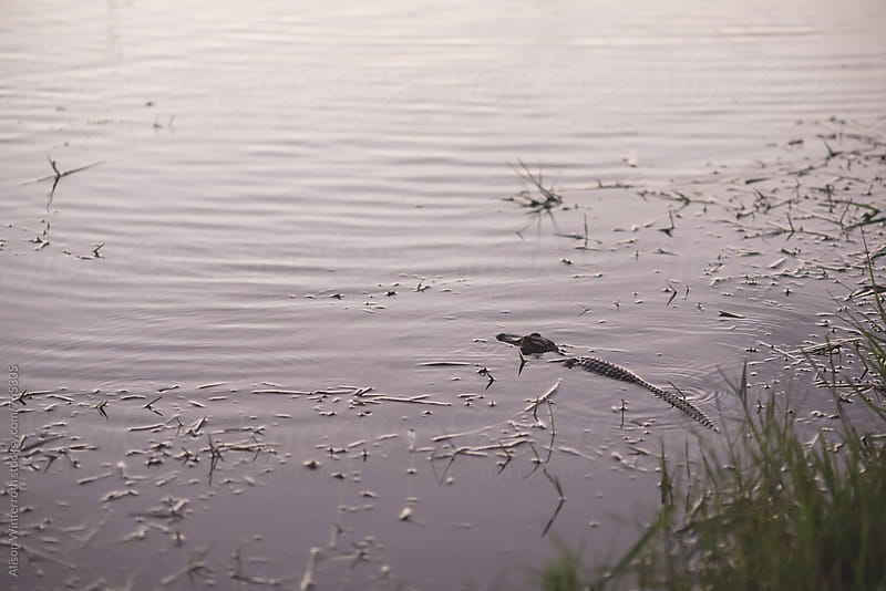 An Alligator Swims In A Lake At Sunset by Alison Winterroth for Stocksy United