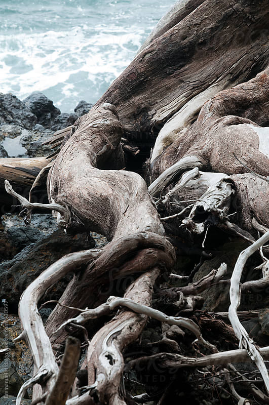 Exposed roots of a tree sits on top of volcanic rock by the ocean by Emmanuel Hidalgo for Stocksy United