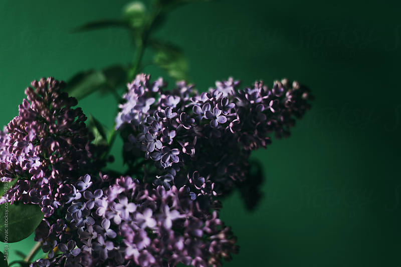 Lilac on a green background by Marija Kovac for Stocksy United