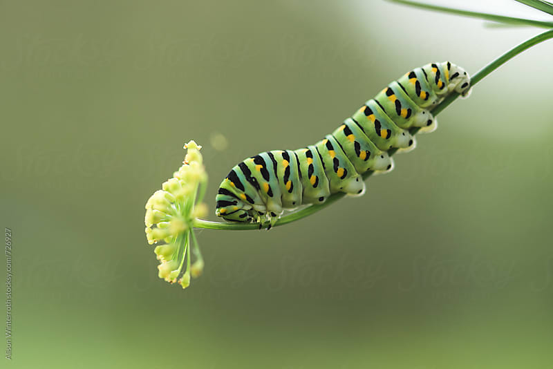 A Caterpillar Eats Parsley by Alison Winterroth for Stocksy United