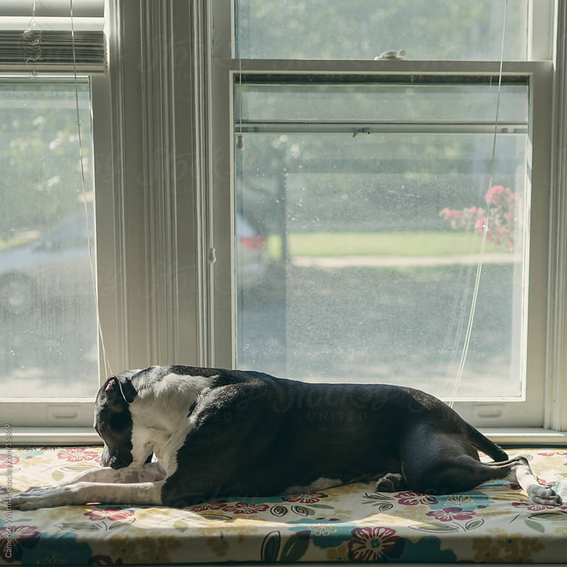 Dog laying by the window by Cameron Whitman for Stocksy United