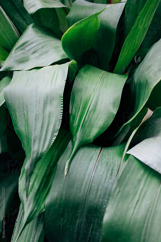 Leaves from tropical plant in rainforest conservatory by Paul Edmondson for Stocksy United