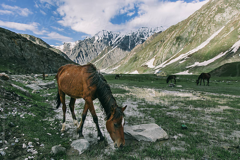 Ladakh wild horse by Daria Berkowska for Stocksy United