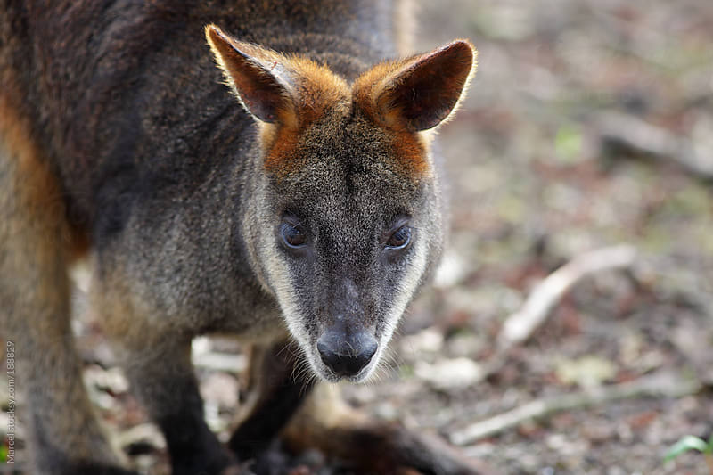 Swamp wallaby  by Marcel for Stocksy United