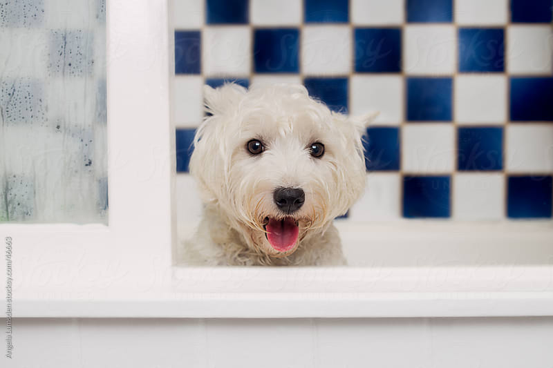 Small white dog smiling and sitting in a bath tub by Angela Lumsden for Stocksy United