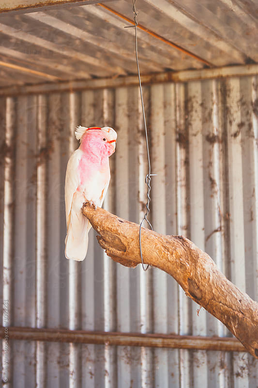 rare and beautiful Major Mitchell or Pink Cockatoo by Gillian Vann for Stocksy United