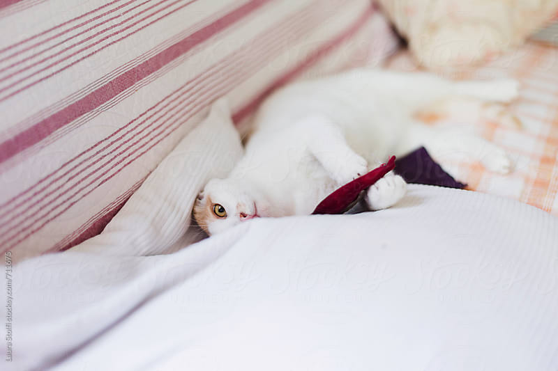 Cat hold catnip filled toy cushion and looks at the camera while hiding behind pillow by Laura Stolfi for Stocksy United