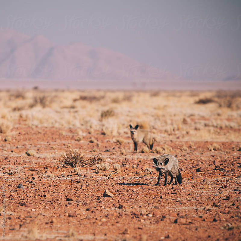African Bat Eared foxes on a Namibian desert plain. by Micky Wiswedel for Stocksy United