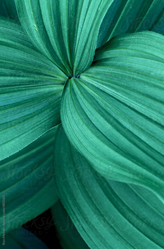 closeup macro of green leaves swirling around the stalk by Ron Mellott for Stocksy United