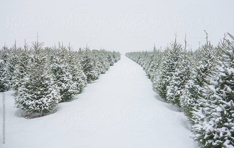 Many Rows of Perfect Pine Trees Covered in Snow and Stretching t by Brian McEntire for Stocksy United