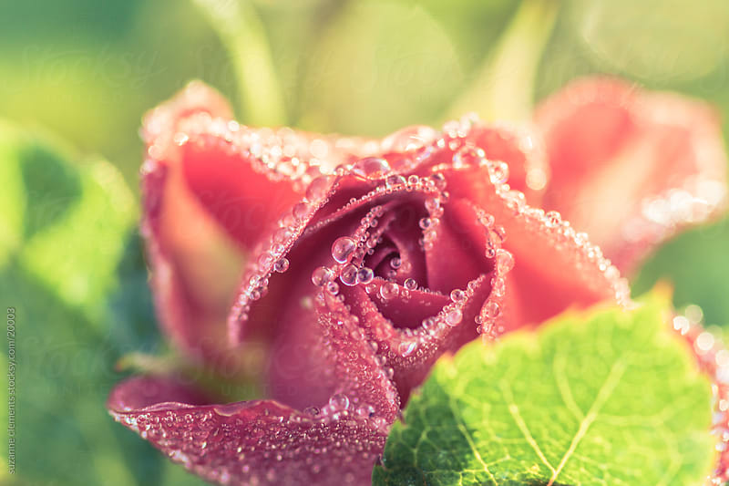 Rose Bud and Leaves in Sunshine with Dew Drops by suzanne clements for Stocksy United