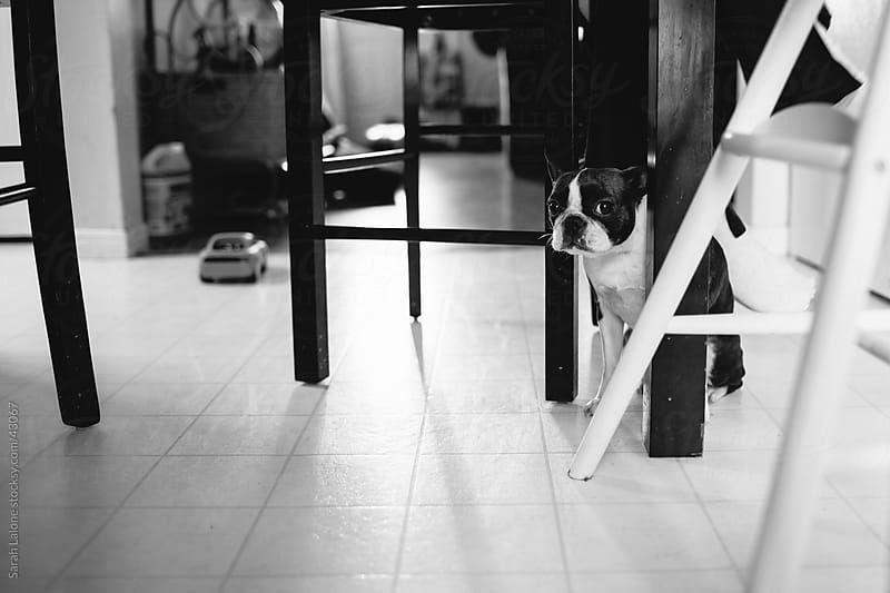 A boston terrier dog hiding from kids under a table. by Sarah Lalone for Stocksy United