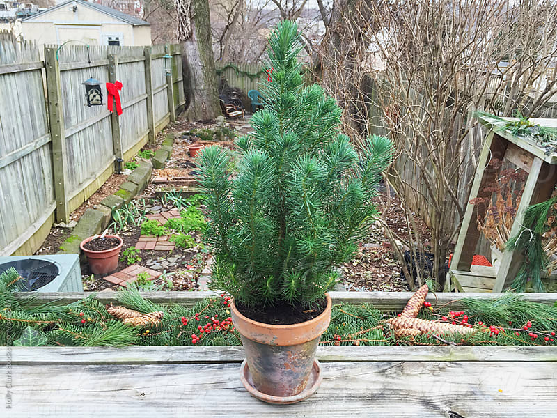 A small Christmas tree in a city garden by Holly Clark for Stocksy United