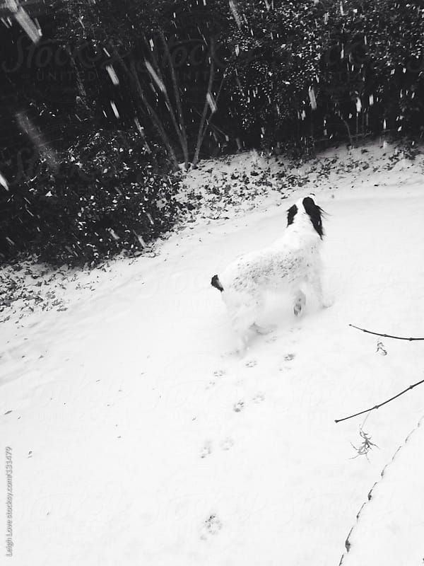English Setter in The Snow by Leigh Love for Stocksy United