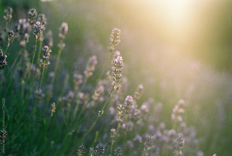 Lavender in the golden hour by Helen Rushbrook for Stocksy United