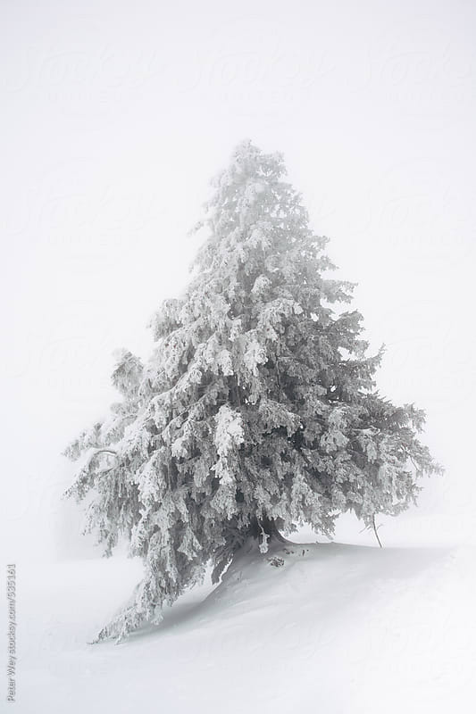 Snow covered tree in thick fog by Peter Wey for Stocksy United