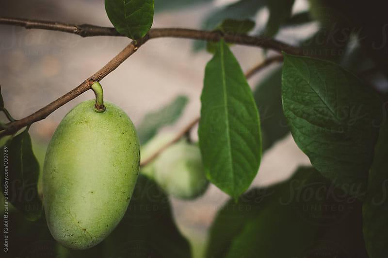 Paw Paw Fruits by Gabriel (Gabi) Bucataru for Stocksy United