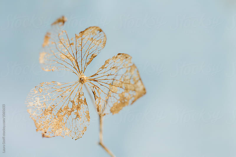 Fading away golden hydrangea dried flower close up by Laura Stolfi for Stocksy United