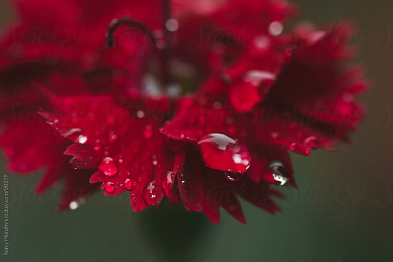 Macro of raindrops on red dianthus flower by Kerry Murphy for Stocksy United