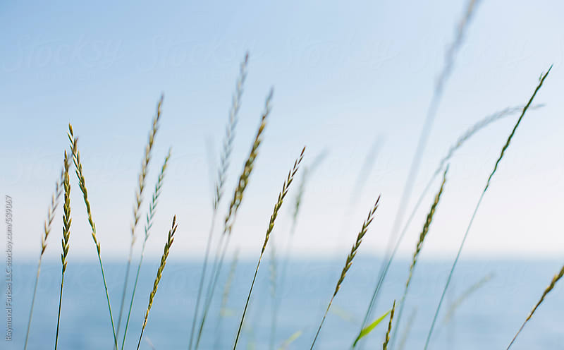 Beach Grass New Harbor, Maine by Raymond Forbes LLC for Stocksy United