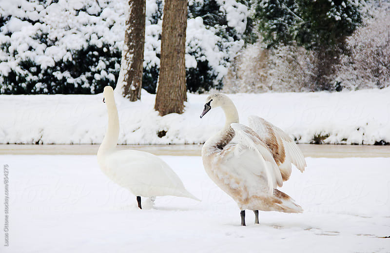 Swan couple spreading wings in snow by Lucas Ottone for Stocksy United