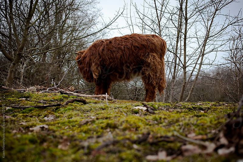 Scottish highlander in the dunes of Holland by Koen Meershoek for Stocksy United