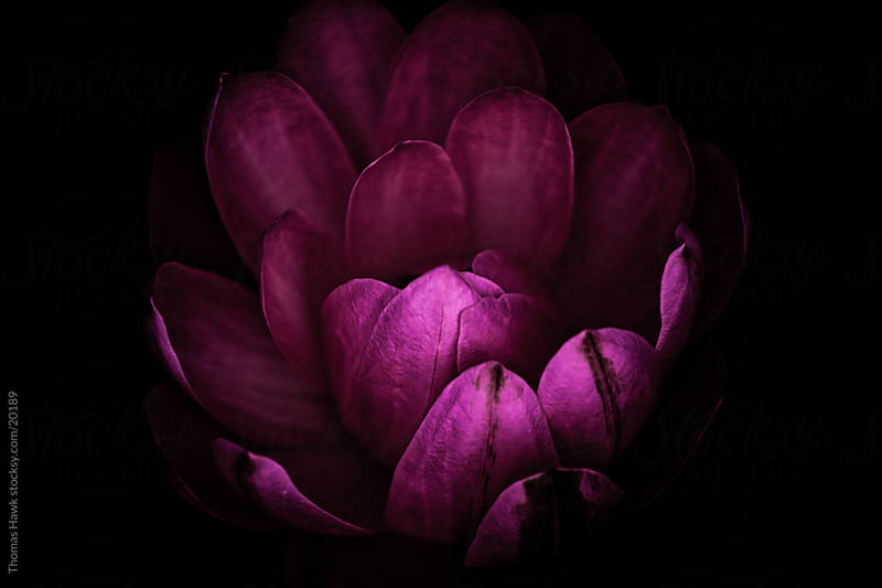 dark Pink Water Lily by Thomas Hawk for Stocksy United