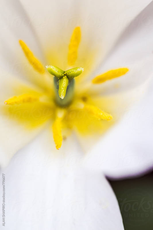 White Tulip in the garden by alan shapiro for Stocksy United