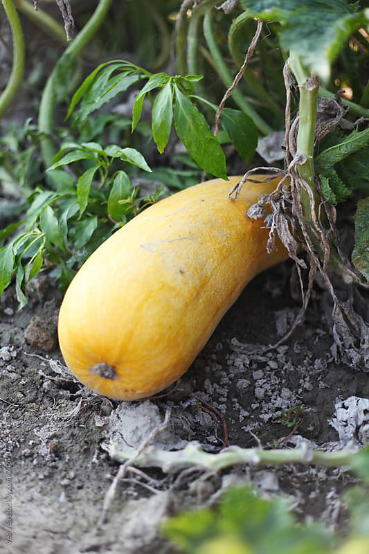 Organic butternut squash in the garden  by VeaVea for Stocksy United