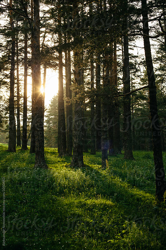 Forest by sunset by Aleksandar Novoselski for Stocksy United