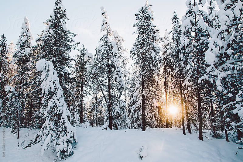 Morning sun shining through snow covered pine trees by Justin Mullet for Stocksy United