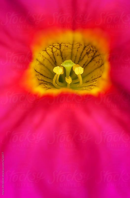 Petunia blossom, closeup by Mark Windom for Stocksy United