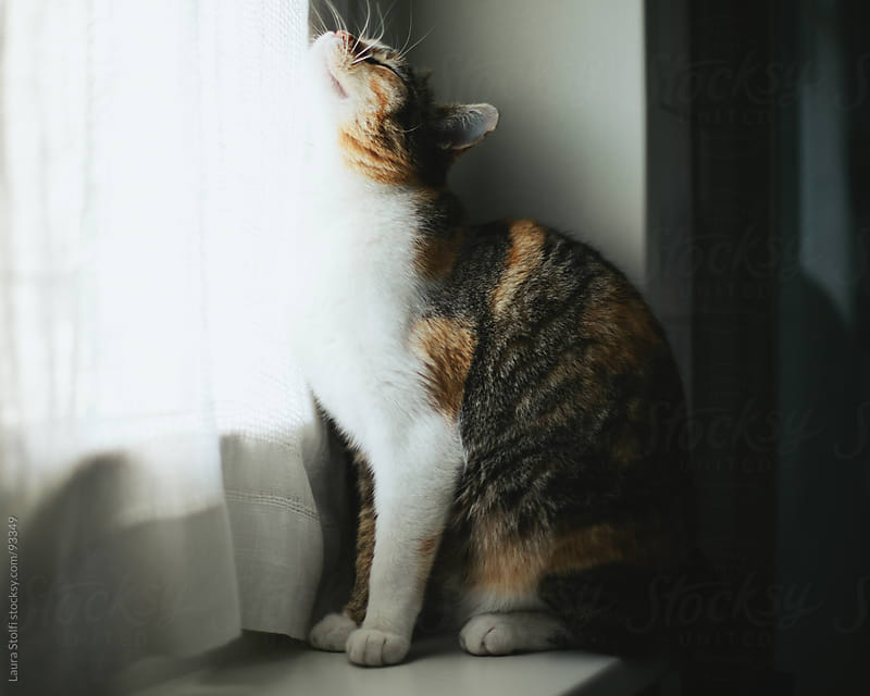 Tabby cat sitting on window sill and stroking linen curtains with the face by Laura Stolfi for Stocksy United