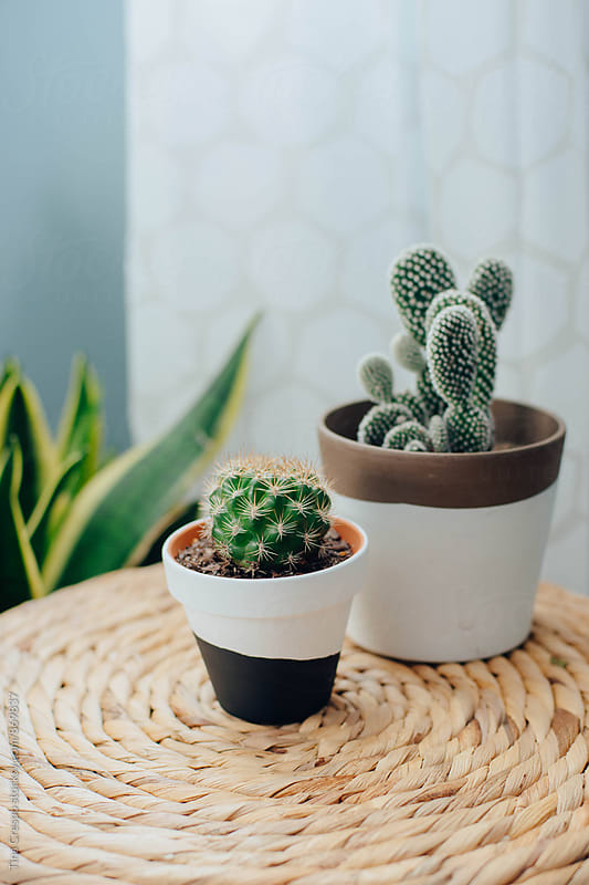 Potted Cactus Plants by Tina Crespo for Stocksy United