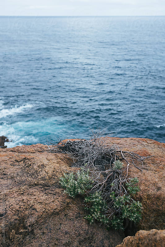 Bush plant growing out of rock at the edge of a cliff overlooking the Indian Ocean by Jacqui Miller for Stocksy United