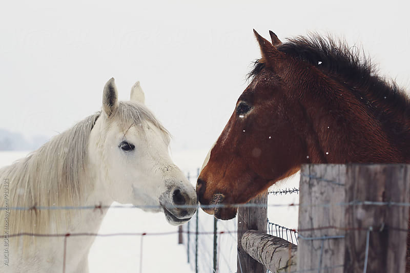 Two Horses Standing Nose To Nose Across A Fence While Snow Falls Around Them by ALICIA BOCK for Stocksy United
