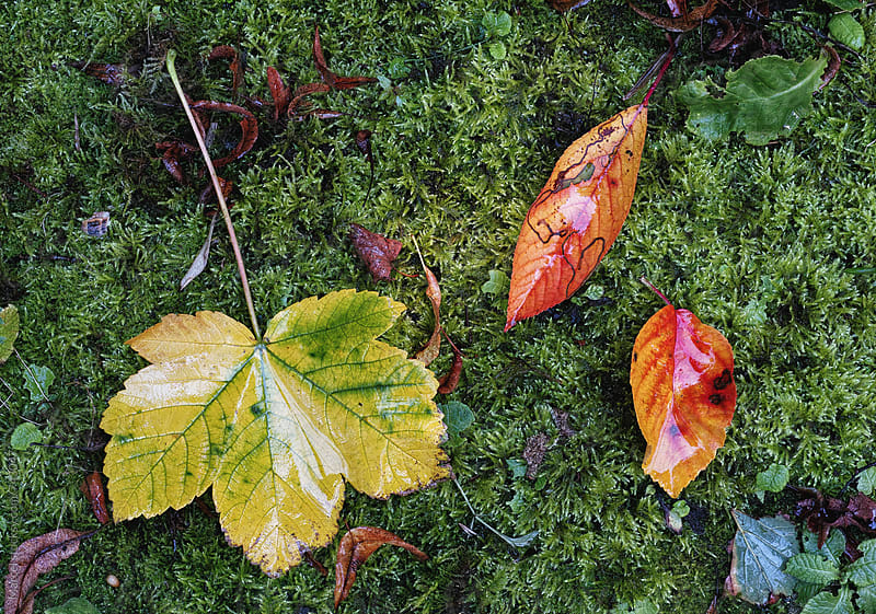 Wet autumn leaves fallen on green moss by Marcel for Stocksy United