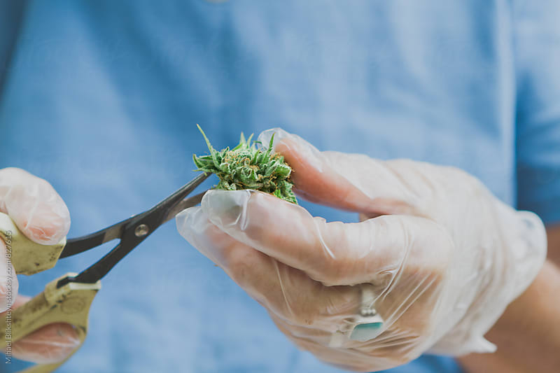 Annonymous hands trimming a pot bud with scissors by Mihael Blikshteyn for Stocksy United