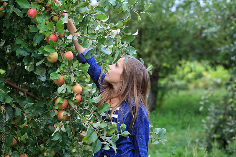 Girl Picking Apples In The Orchard by ALICIA BOCK for Stocksy United
