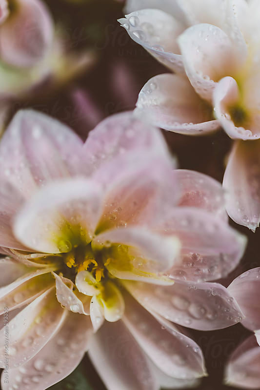 Dew drops on  pink flowers. by Eva Plevier for Stocksy United