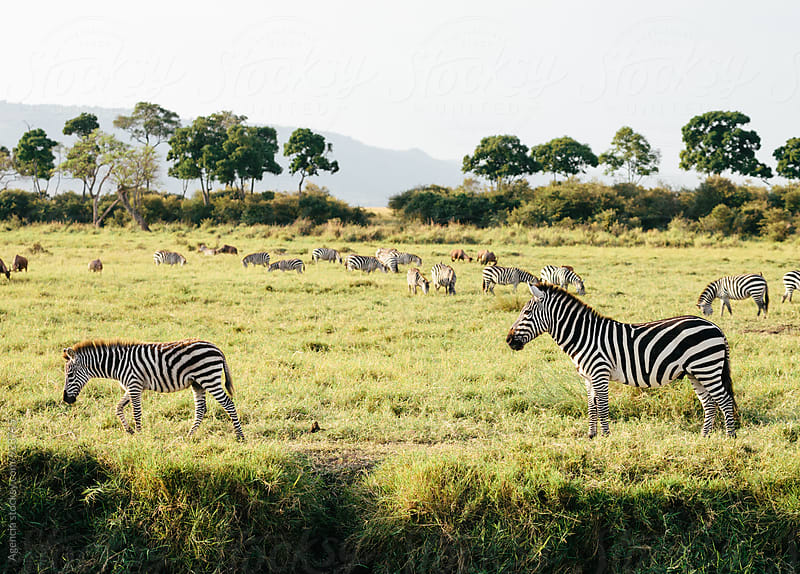 Herd of Zebras by Agencia for Stocksy United