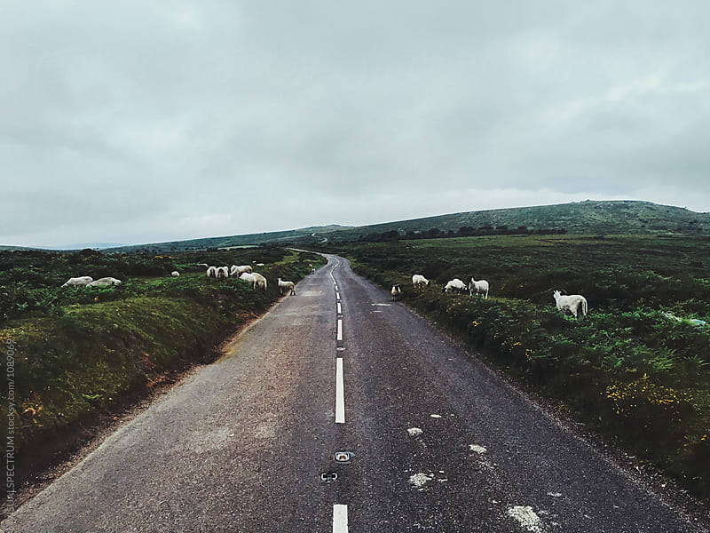 Dartmoor National Park (Devon, England) - Herd of Sheep Crossing Countryside Road at Dawn by Julien L. Balmer for Stocksy United