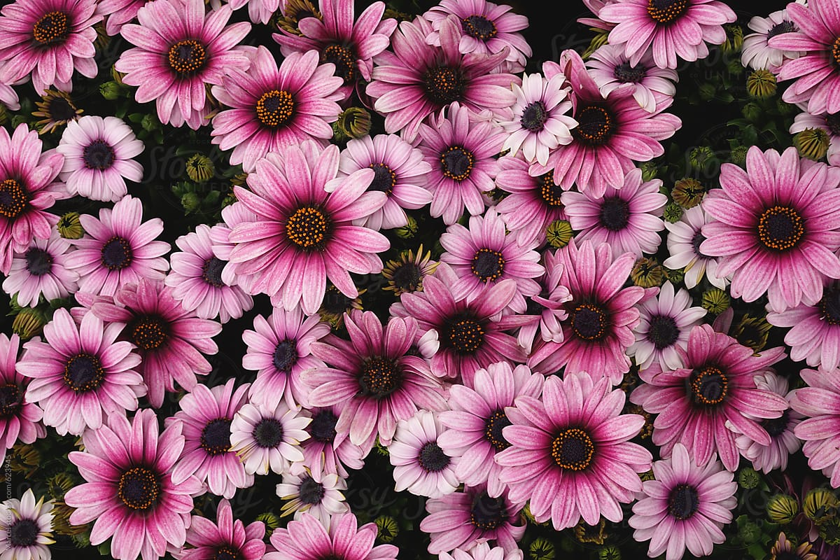 Summer Flowers Background Of Pink African Daisies Stocksy United