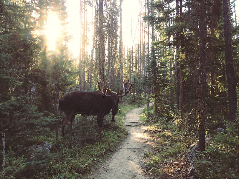 Moose on Trail by Kevin Russ for Stocksy United