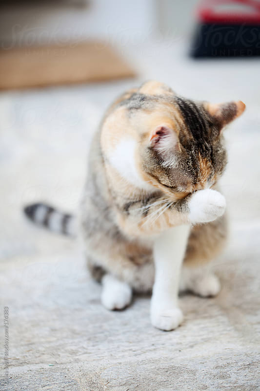 Tabby cat cleaning her face with her paw by Laura Stolfi for Stocksy United