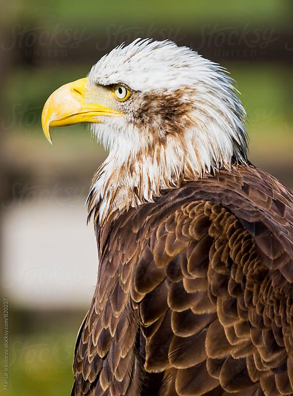 Bald eagle portrait by Marilar Irastorza for Stocksy United