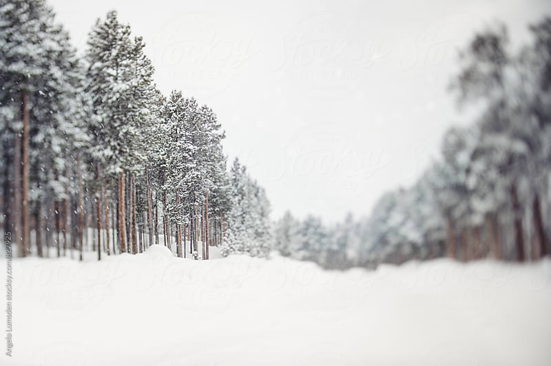 Snow covered road lined with pine trees on a snowy day by Angela Lumsden for Stocksy United